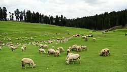 A flock of sheep on a green meadow, with woods in the background