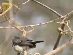 File:Double-barred Finch94.ogv