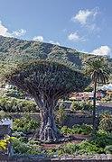 Drago milenario, Icod de los Vinos, Tenerife, España, 2012-12-13, DD 02.jpg
