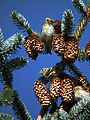Drei Singvögel in Nadelbaum.JPG