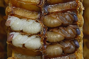 Pupae of honeybee drones