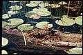 Drosera intermedia 2-eheep (5097206993).jpg