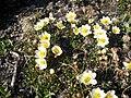 Dryas integrifolia upernavik 2007 06 28 2.jpg