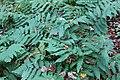 Dryopteris goldiana BW-3131.jpg