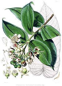 Duabanga sonneratioides
