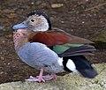 Duck 2d (6967044964).jpg