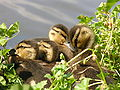 Ducklings at Lost Lagoon.jpg