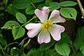 Duinroos (Rosa pimpinellifolia). Locatie. Nationaal Park Lauwersmeer in Groningen 01.jpg