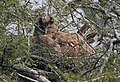 Dusky Eagle Owl Bubo coromandus by Dr. Raju Kasambe DSCN2055 (3).jpg