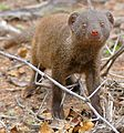 Dwarf Mongoose (Helogale parvula) (33376960275).jpg