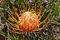 Dwarf Pincushion (Leucospermum gerrardii) flower (31721900043).jpg