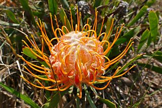 <i>Leucospermum gerrardii</i> The dwarf pincushion is a shrub in the family Proteaceae from eastern South Africa and Swaziland