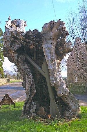 Easton Maudit - Image: EM Tree