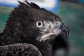 Eagle (3263234053).jpg