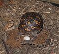 Eastern Box Turtle 8676.jpg