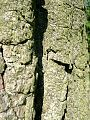 Eastern Cottonwood (Populus deltoides) close-up of bark - Flickr - Jay Sturner.jpg