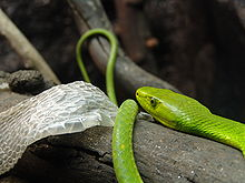 A bright green snake on a log next to shedded skin