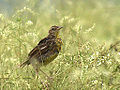Eastern Meadowlark (7673771458).jpg