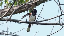 File:Eastern towhee in JBWR (50084).webm