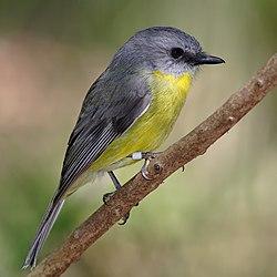Eastern yellow robin (Victoria, Australia 2008).jpg