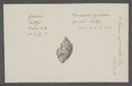 Eburna spirata - - Print - Iconographia Zoologica - Special Collections University of Amsterdam - UBAINV0274 074 01 0004.tif