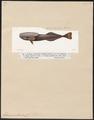 Echeneis osteochir - 1700-1880 - Print - Iconographia Zoologica - Special Collections University of Amsterdam - UBA01 IZ13500260.tif