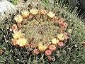 Echinocactus platyacanthus (Eze) flowering.jpg