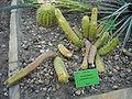 Echinocereus leonensis.jpg