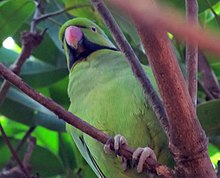 Photo of a green parrot with a black collar sitting among branches in a tree