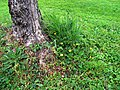 Edera e fiori ai piedi di un olivo.jpg