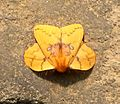 Eggar species. Lasiocampidae. Trabala species.( possibly T. Vishnu^) - Flickr - gailhampshire.jpg