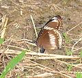 Eggfly (Hypolimnas bolina) oviposing (23791957859).jpg