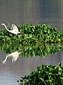 Egret 1.jpg