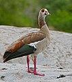Egyptian Goose (Alopochen aegyptiaca), Kruger NP (16600817312).jpg