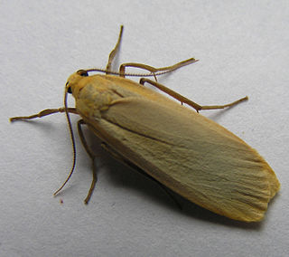 <i>Katha depressa</i> Species of moth