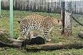 Em - Panthera pardus - 8.jpg