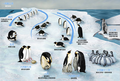 Emperor Penguin Lifecycle Simplified Chinese.png