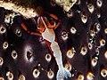 Emperor shrimp (Periclimenes imperator) (16245381675).jpg