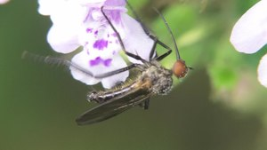File:Empis sp - 2012-10-16.webm