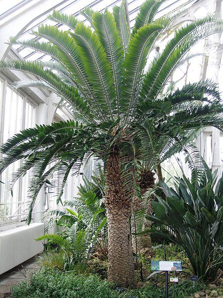 File:Encephalartos woodi RBGK.JPG