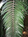 Encephalartos woodii medium shade leaf 12 09 2010.JPG