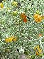 Enchylaena tomentosa fruit & foliage 01.jpg