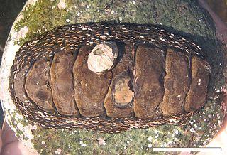 <i>Enoplochiton niger</i> Species of mollusc