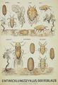 Entwicklungszyklus d Reblaus ca 1880.tif
