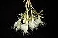 Epidendrum ilense 'Sapporo Black' (x sib) Dodson, Selbyana 2- 51 (1977) (26356339738).jpg