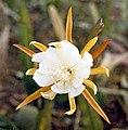Epiphyllum laui2LAU.jpg