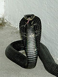 Equatrorial-spitting-cobra 001.jpg