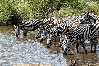 Plains zebra - Plains zebra are highly dependent on water