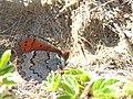 Erebia pandrose Bucegi1.jpg