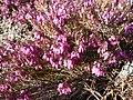 Erica carnea 'Challenger' (Ericaceae) flower.jpg